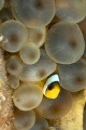   Peek Booo Juvenile clownfish anemone.D7060mm lens twin strobes. anemone. anemone D70-60mm D7060mm D70 60mm strobes  